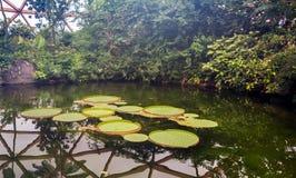 Grandes feuilles d'amazonica de Victoria flottant dans le petit étang image stock