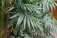 Grandes feuilles d'un palmier mûr tropical de Chamaedorea Elegans photographie stock libre de droits