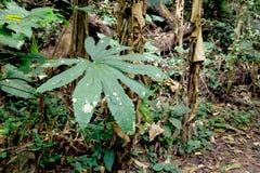 Grandes feuilles dans la forêt Photographie stock libre de droits