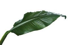 Grandes feuilles de lis de Spathiphyllum ou de paix, feuillage vert frais d'isolement sur le fond blanc photo libre de droits