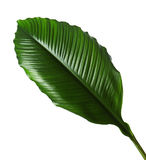 Grandes feuilles de lis de Spathiphyllum ou de paix, feuillage vert frais d'isolement sur le fond blanc images stock