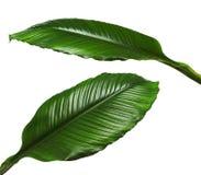 Grandes feuilles de lis de Spathiphyllum ou de paix, feuillage vert frais d'isolement sur le fond blanc Photo stock