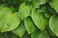 Grandes feuilles humides de vert Photographie stock