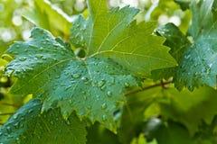 Grandes feuilles vertes des raisins Image libre de droits