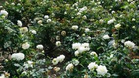 Grandes fleurs blanches d'un rosef Images libres de droits