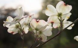 Grandes fleurs de cornouiller avec la lumière du soleil coulant  image stock