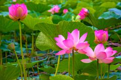 Grandes fleurs de lotus bourgeons roses lumineux de fleur de lotus flottant dans le lac Photos libres de droits