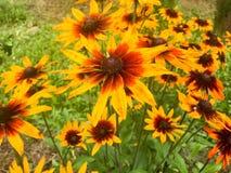 Grandes fleurs jaune-orange de rudbecki velues avec la grande offre fraîche juteuse lumineuse de pétales contre l'usine de hirta  images stock