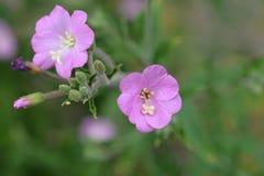 Grandes flores da erva do salgueiro Foto de Stock Royalty Free