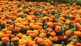 Grandes flores da laranja do canteiro de flores filme