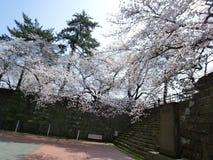 Grandes flores de cerezo Foto de archivo