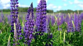 Grandes flores lil?s bonitas da floresta lupine com as folhas verdes que balan?am no vento no prado em um dia ensolarado contra filme