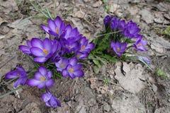 Grandes flores roxas do açafrão na mola Foto de Stock