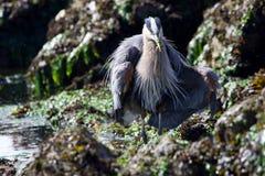 Grandes fluff da garça-real azul suas penas e propagações suas asas ao guardar um peixe imagens de stock