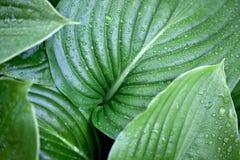 Grandes folhas do verde foto de stock
