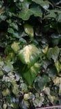 Grandes folhas e folha do verde Imagem de Stock