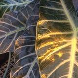Grandes folhas lindos iluminadas pelo sol Fotos de Stock