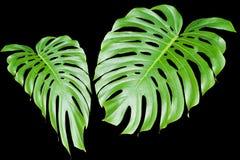 Grandes folhas tropicais Fotos de Stock
