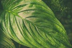 Grandes folhas tropicais verdes fundo, textura À moda matizado eco-amigável foto de stock royalty free