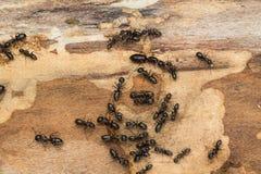 Grandes fourmis noires sur le bois de chauffage Image stock