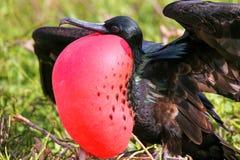 Grandes Frigatebird & x28 masculinos; Minor& x29 do Fregata; indicação Imagem de Stock Royalty Free