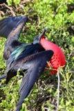 Grandes Frigatebird & x28 masculinos; Minor& x29 do Fregata; indicação Foto de Stock