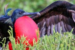 Grandes Frigatebird & x28 masculinos; Minor& x29 do Fregata; indicação Fotografia de Stock Royalty Free