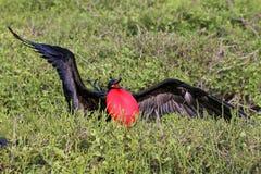 Grandes Frigatebird & x28 masculinos; Minor& x29 do Fregata; indicação Fotos de Stock