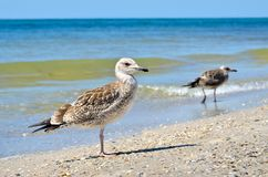 Grandes gaivotas do Mar Negro no habitat natural Imagem de Stock