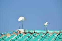 Grandes garcetas blancas maduras y jovenes en un tejado que parece derecho Fotografía de archivo