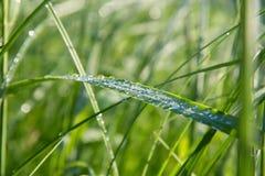 Grandes gotas transparentes do orvalho da manhã na grama no fim do verão Foto de Stock