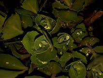 Grandes gouttes de pluie sur les feuilles succulentes vertes Photo stock