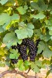 Grandes grupos da uva para vinho fotos de stock