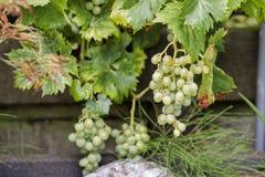 Grandes grupos das uvas brancas fotos de stock royalty free