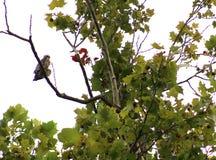 Grandes Hawk Siting High e relógio do mantimento Fotos de Stock Royalty Free