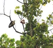 Grandes Hawk Siting High e relógio do mantimento Fotografia de Stock Royalty Free
