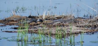 Grandes jacarés de Bull, Savannah National Wildlife Refuge fotografia de stock
