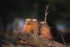 Grandes jovens da coruja Horned Fotos de Stock