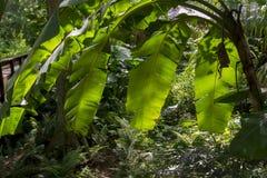 Grandes llants tropicais Foto de Stock Royalty Free