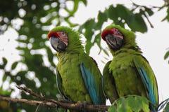 Grandes macaws verdes - Ara Ambiguus Imagen de archivo libre de regalías