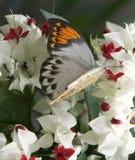 Grandes mariposa y flores anaranjadas de la extremidad imagen de archivo