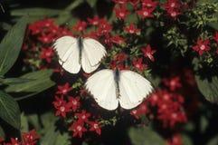 Grandes mariposas blancas meridionales Fotos de archivo libres de regalías