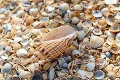 Grandes mentiras da concha do mar sobre muitas conchas do mar redondas pequenas foto de stock