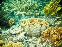 Grandes moluscos com corais e esponjas Fotos de Stock