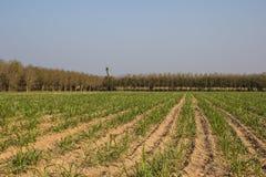 Grandes montanhas do cana-de-açúcar no campo. Imagem de Stock Royalty Free