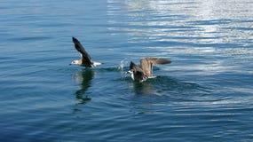 Grandes mouettes blanches sur les vagues de la mer Photo libre de droits