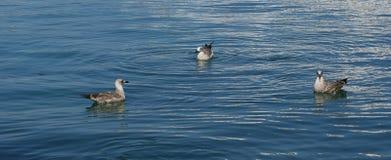 Grandes mouettes blanches sur les vagues de la mer Photos libres de droits