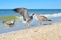 Grandes mouettes de la Mer Noire dans l'habitat naturel Photos stock