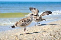 Grandes mouettes de la Mer Noire dans l'habitat naturel Images libres de droits