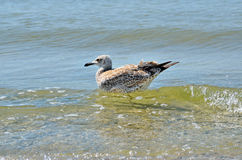 Grandes mouettes de la Mer Noire dans l'habitat naturel Photo libre de droits